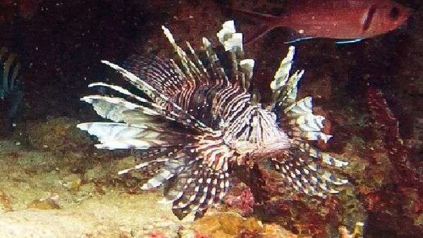 Lionfish Hunting Carriacou Grenada